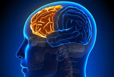 Female Frontal Lobe - Anatomy Brain